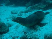 Sea lion playing with the school of fish - Diving at Seymour, Santa Cruz, Galapagos Islands
