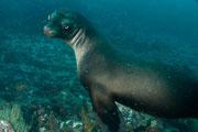 Sea lion stopping to say hola! Diving at Seymour, Santa Cruz, Galapagos Islands