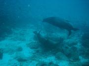 Sea lions playing about - Diving at Seymour, Santa Cruz, Galapagos Islands