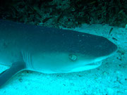 Close up of White Tip Shark waiting in its usual position on the floor!