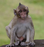 another monkey posing for the camera at Angkor Wat