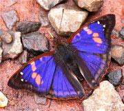 gorgeous butterfly, Puerto Iguazu, Argentina