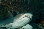 White Tip Shark - Diving at Seymour, Santa Cruz, Galapagos Islands