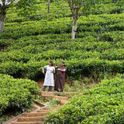 Tea plantations are what this part of the country is famous for! Sri Lanka is now the second biggest producer of tea in the world!