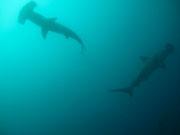 Hammerheads - Diving at Seymour, Santa Cruz, Galapagos Islands