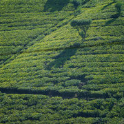 Labookellie Mackwoods Tea Plantation