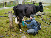 Fudgie having a go at milking the vaca...