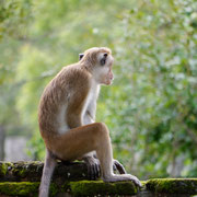 monkey at the Ancient City of Polonnaruwa