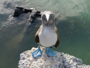 Blue footed Booby, Tortuga Bay, Isla Santa Cruz, Galapagos Islands
