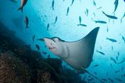 Stingray - Diving at Seymour, Santa Cruz, Galapagos Islands