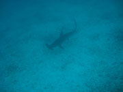 Hammerhead Shark - Diving at Seymour, Santa Cruz, Galapagos Islands
