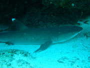 White Tip Shark waiting in its usual position on the floor!