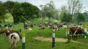 Ambewela Farm, Nuwara Eliya - a few Jersey cows could be spotted amongst this lot!
