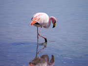 Flamingo at the San Pedro de Atacama Salt Flats, Chile