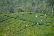 more tea plantations....
