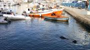 Sea Lion at the Marina - Punta del Este, Uruguay