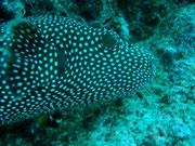 Blow Fish - Diving at Seymour, Santa Cruz, Galapagos Islands