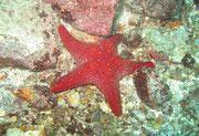 Starfish - Diving at Seymour, Santa Cruz, Galapagos Islands
