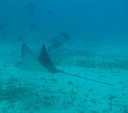 Stingrays - Diving at Seymour, Santa Cruz, Galapagos Islands