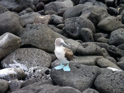 Blue footed Booby, Isla San Cristobal, Galapagos Islands