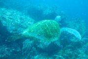 Tortuga - Diving at Seymour, Santa Cruz, Galapagos Islands