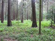 Mammutbaumwald im Forstbotanischen Garten    © Jörg Pape