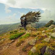 Arbre de Corsica