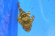 Peckoltia sp. Red Tiger, Einzug Rio Madeira, Foto: AQUATILIS, Peter Jaeger