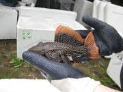 Pseudacanthicus leopardus,  Leopardkaktuswels, 17 cm, verkauft, Foto: AQUATILIS, Peter Jäger