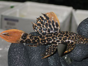 Pseudacanthicus leopardus, Leopardkaktuswels, 11 cm, im Bestand, Foto: AQUATILIS, Peter Jäger