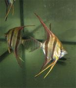 Pterophyllum altum, Altum Skalar, Hoher Segelflosser, DNZ und WF, immer wieder im Bestand, Foto: AQUATILIS, Peter Jaeger