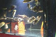 Datnioides microlepis, Tigerbarsch, Tigerfish, WF, Foto: AQUATILIS, Peter Jaeger