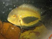 Uaru amphiacanthoidis, Keilfleckbuntbarsch, im Bestand, Fofo: AQUATILIS, Peter Jaeger