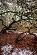 Krüppelbuchen im Waldpark Semper