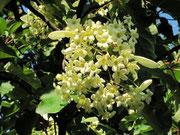 fleurs Emmenopterys henryi