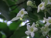 fleur de Emmenopterys henryi