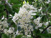 fleurs de Emmenopterys henryi