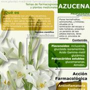 Azucena. propiedades y beneficios