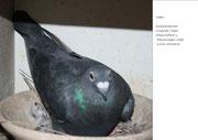 Nachzucht - 2013 - Ringloser x 215 - Das Vatertier - der Ringlose