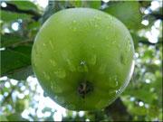 Die verbotene Frucht