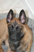 Beide Ohren stehen!!! - 10 Wochen