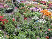 Blumenmarkt in Greve
