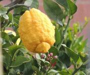 riesige Zitrone