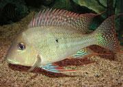 Geophagus altifrons: Männchen