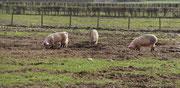 Glückliche Livarschweine