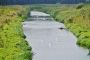 Ein Fluss voller Schwäne
