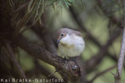 Trauerschnäpper männl.  (Ficedula hypoleuca), April 2016 Nds/GER, Bild 2