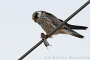 Rotfußfalke K1 (Falco vespertinus), Aug 2015 MV/GER, Bild 3