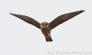 Rotfußfalke K1 (Falco vespertinus), Aug 2015 MV/GER, Bild 2