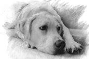 elaborazione con Photoshop di un cane Labrador, effetto matita-carboncino